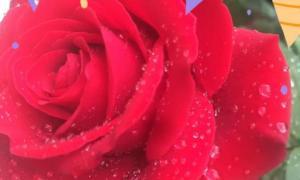 Bông hồng tháng hai